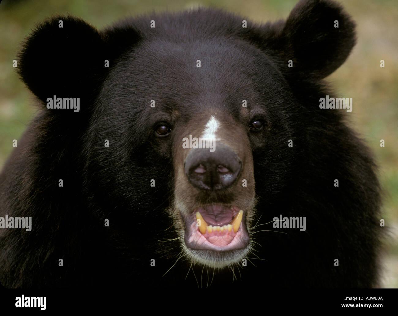 HIMALAYAN BLACK BEAR (Selenarctos thibetanus) CAPTIVE portrait - Stock Image