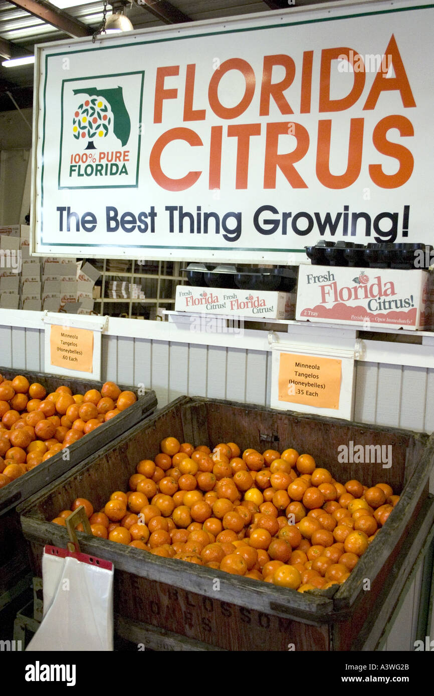 Tubs of oranges at Orange Blossom Groves produce store. Seminole ...