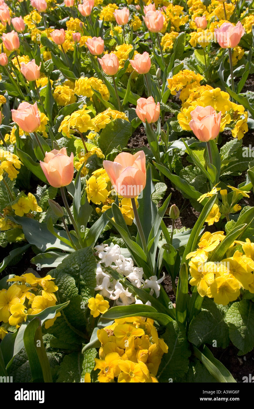 Tulip Apricot Beauty and Primula Crescendo Lemon Yellow - Stock Image