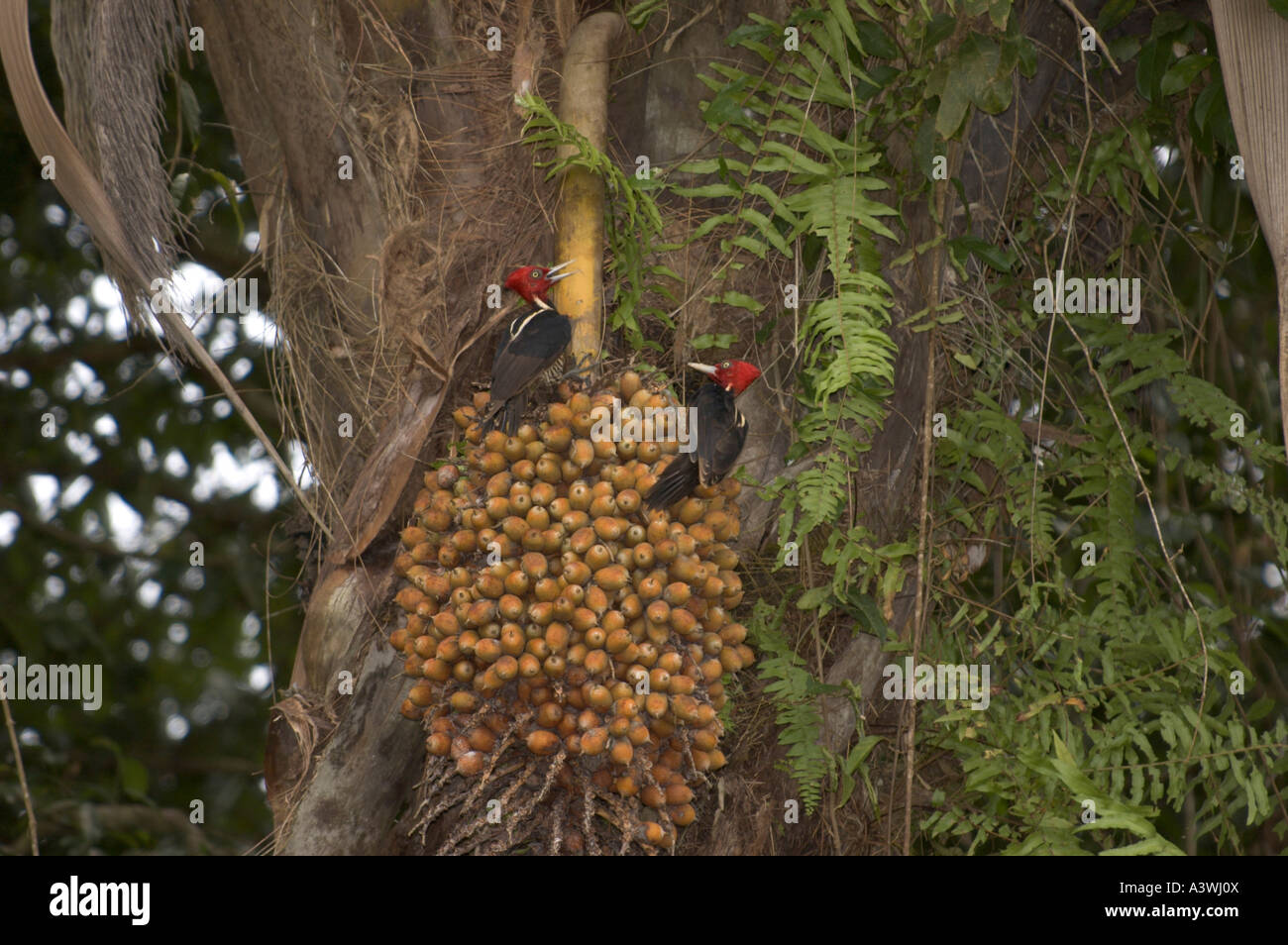 Pale-billed Woodpeckers (Campephilius guatemalensis) on Palm Fruit Stock Photo