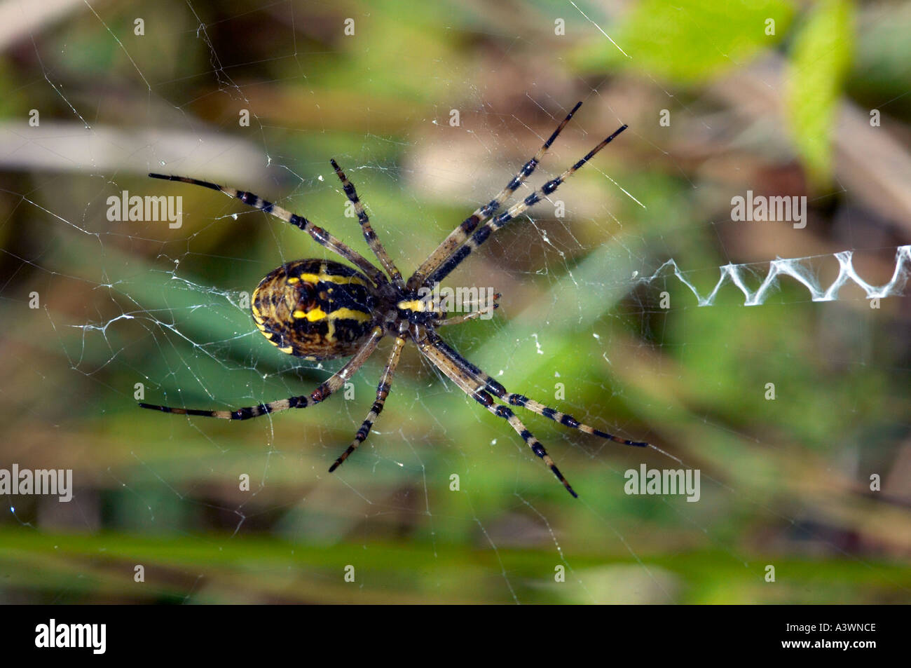 Spider Argiope Brunnicha: photo, characteristic