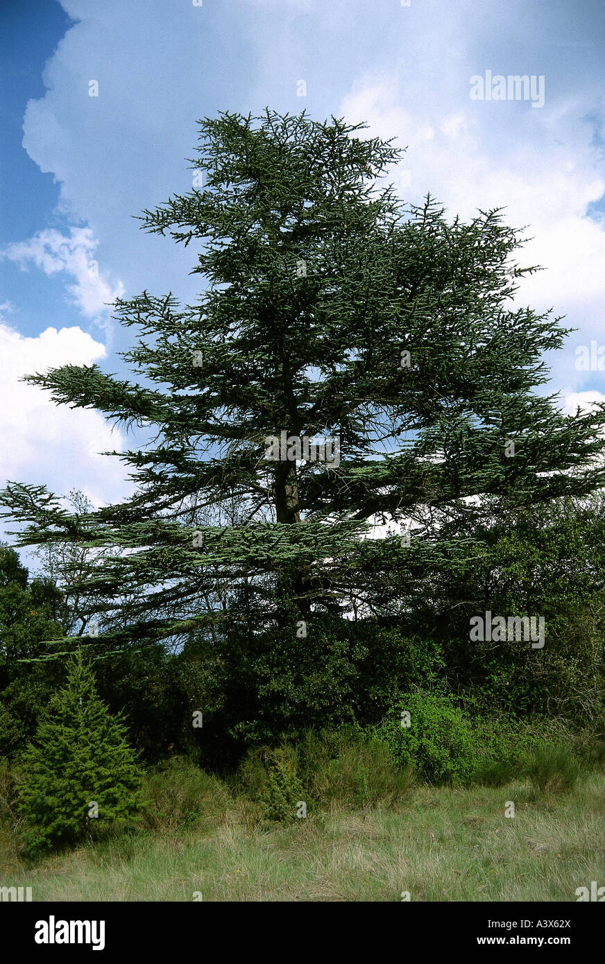 botany, Cedar, (Cedrus), Lebanon Cedar, (Cedrus libani), tree, Pinaceae, Pinaophyta, Coniferales, green, Pinales, - Stock Image