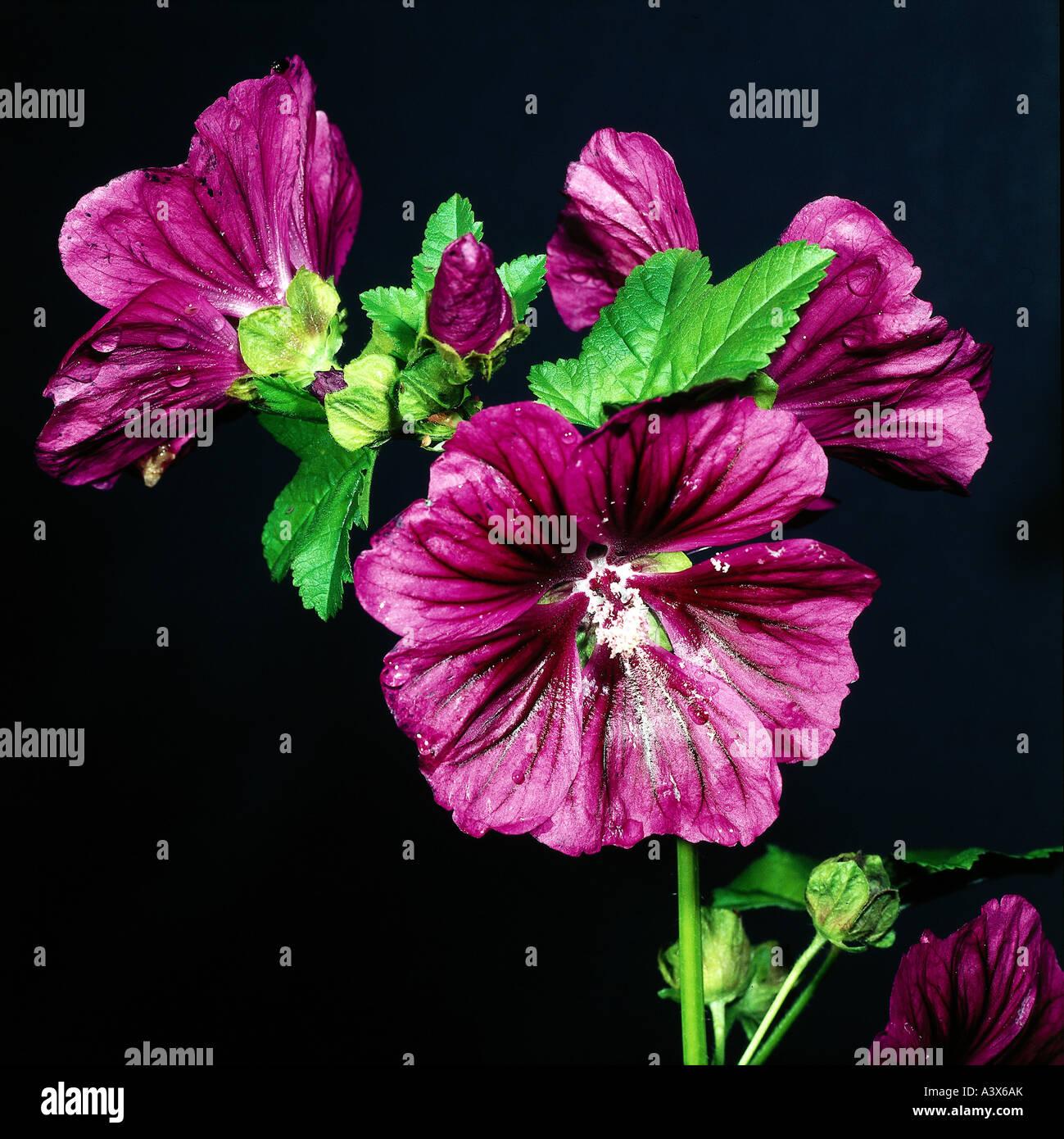 botany, Abutilon, (Abutilon), Indian Mallow, (Abutilon indicum), blossoms and buds, at shoot, studio shot, Malvaceae, Stock Photo