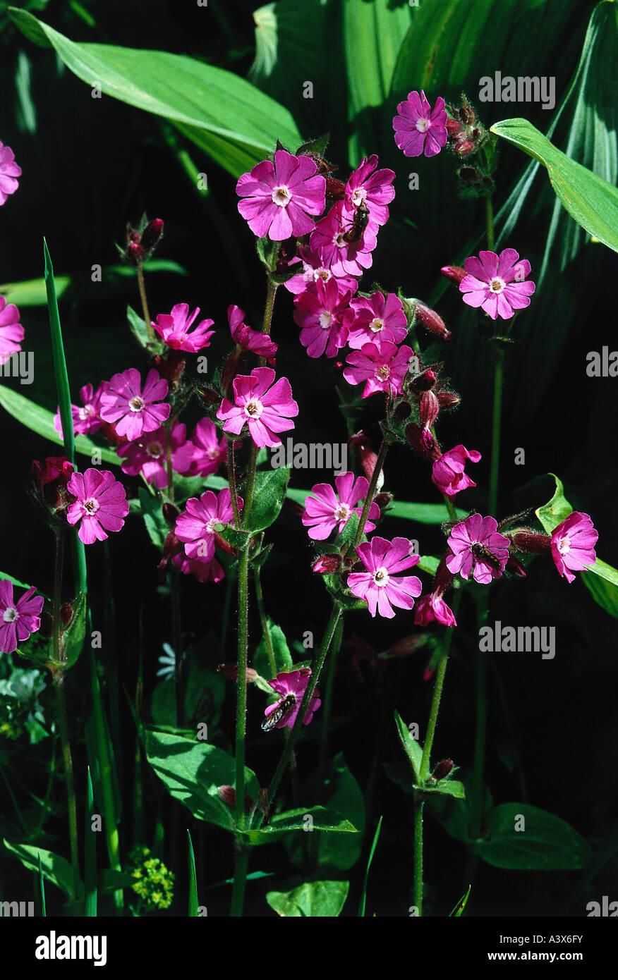 botany, Silene, (Melandrium), Red campion, (Melandrium rubrum), blossoms, Silena dioica, Melandrium rubrum, silvestre, Stock Photo