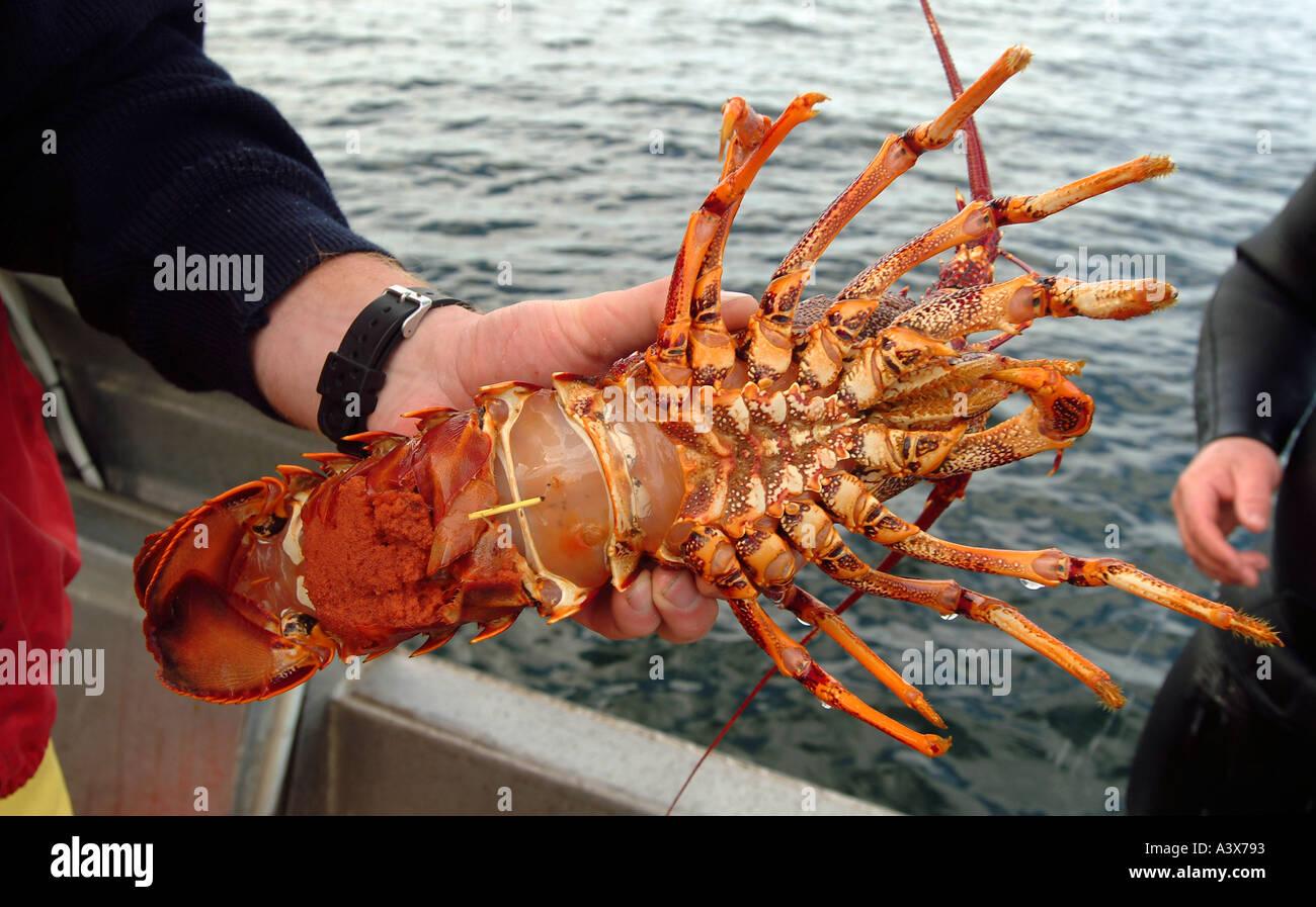 Female rock lobster with eggs Tasmania Australia, photo by Bruce Stock Photo: 2025362 - Alamy