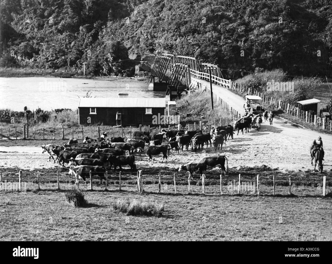 geography/travel, New Zealand, agriculture, stock farmin, cattle herd, Taranaki region, 1920s, 20s, North Island, - Stock Image