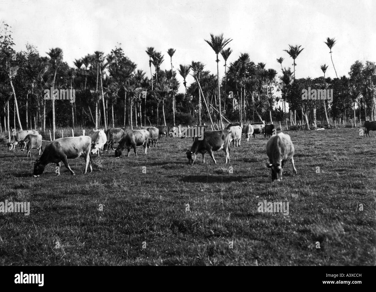geography/travel, New Zealand, agriculture, stock farmin, browsing cattle herd, Aukland region, 1920s, 20s, North - Stock Image