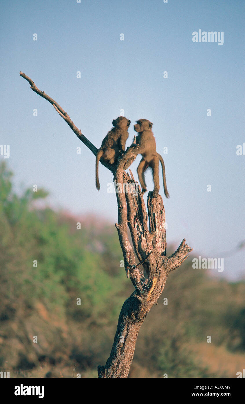 Two young Olive Baboon perched on dead tree stump in Samburu National Reserve Kenya - Stock Image