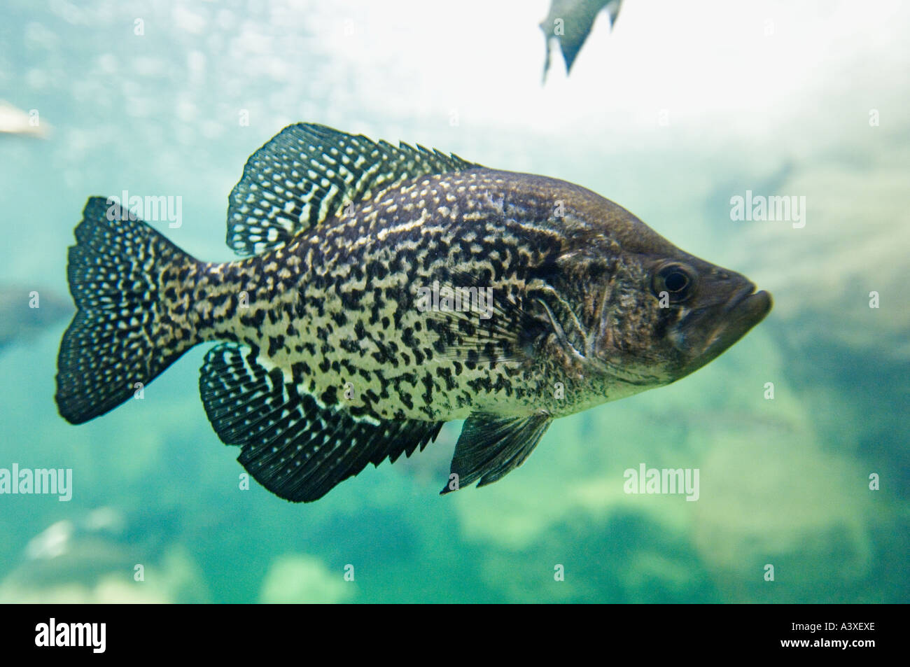 Black crappie pomoxis nigromaculatus in bass pro shops for Indiana crappie fishing