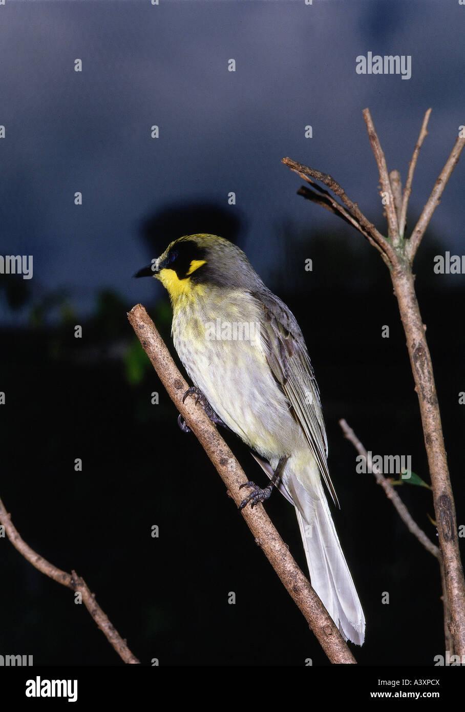 zoology / animals, avian / birds, Yellow-tufted Honeyeater, (Lichenostomus melanops), sitting on branch, distribution: - Stock Image