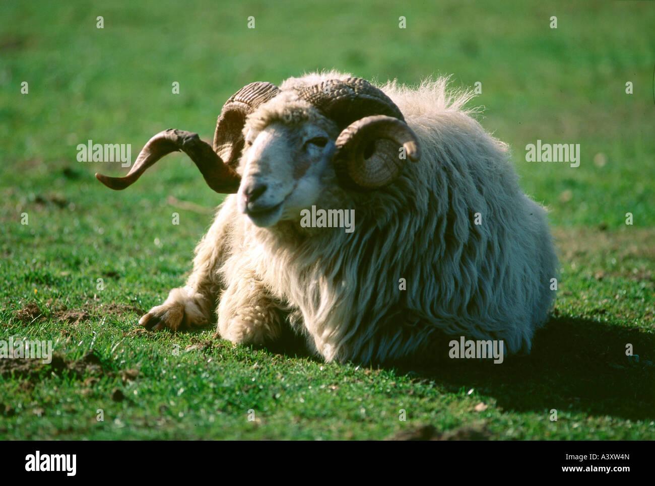 zoology / animals, mammal / mammalian, sheep, (Ovis), Walachian sheep, lying on meadow, distribution: Slovakia, - Stock Image