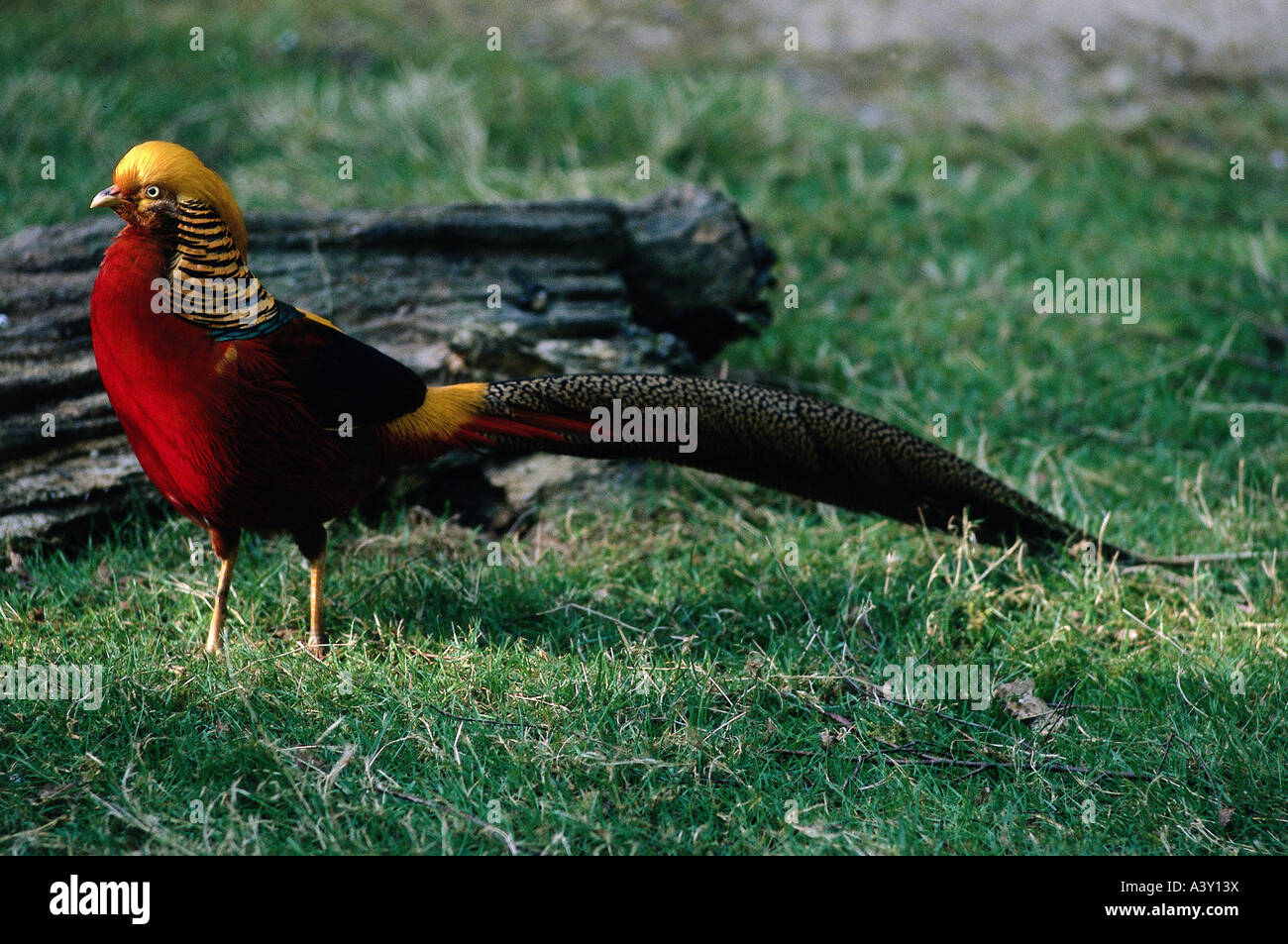 zoology / animals, avian / birds, Golden Pheasant, (Chrysolophus pictus), in Wildpark Eekholt, distribution: Central - Stock Image