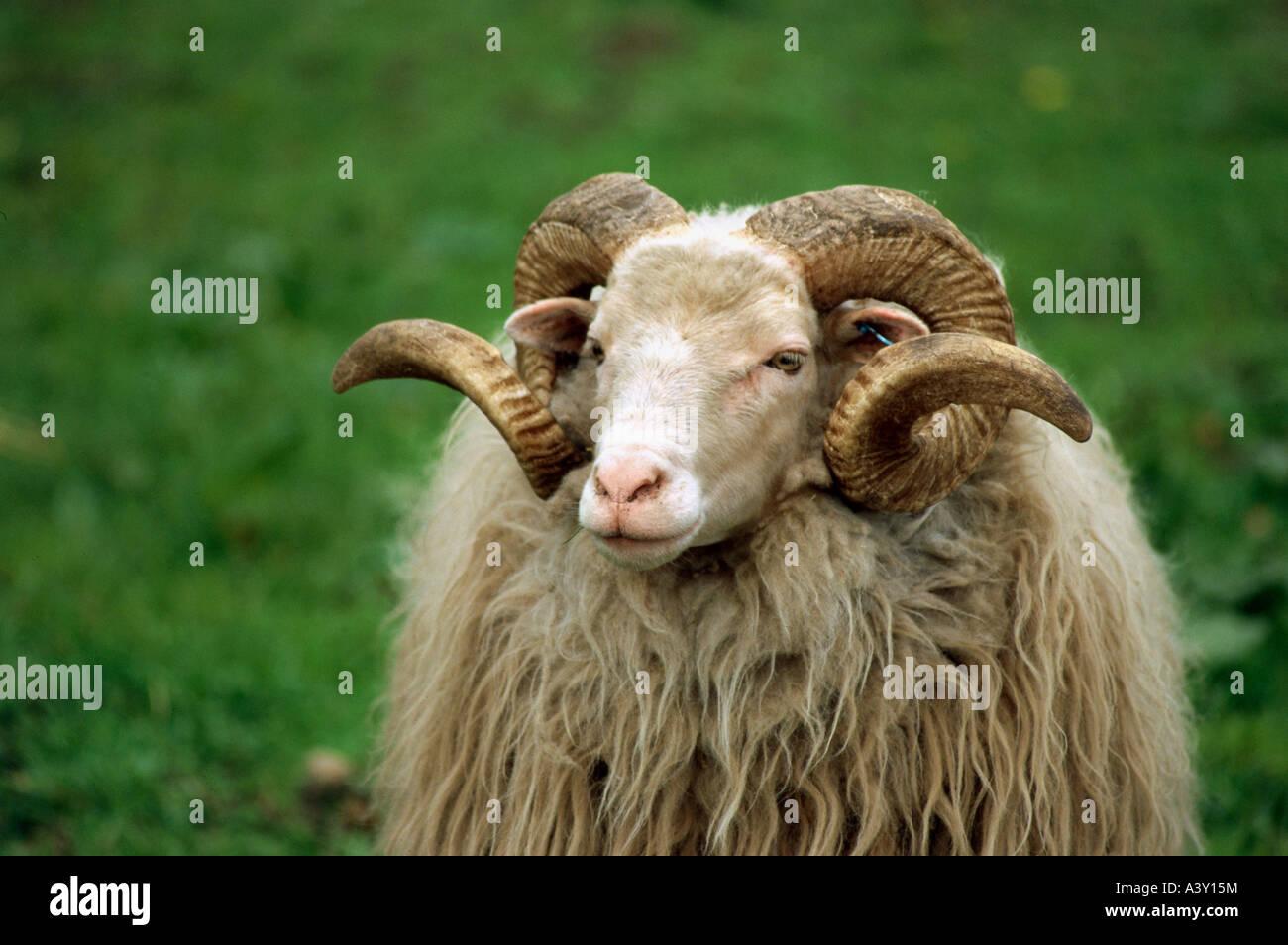 zoology / animals, mammal / mammalian, sheep, (Ovis), Walachian sheep, detail: head, distribution: Slovakia, Czech - Stock Image