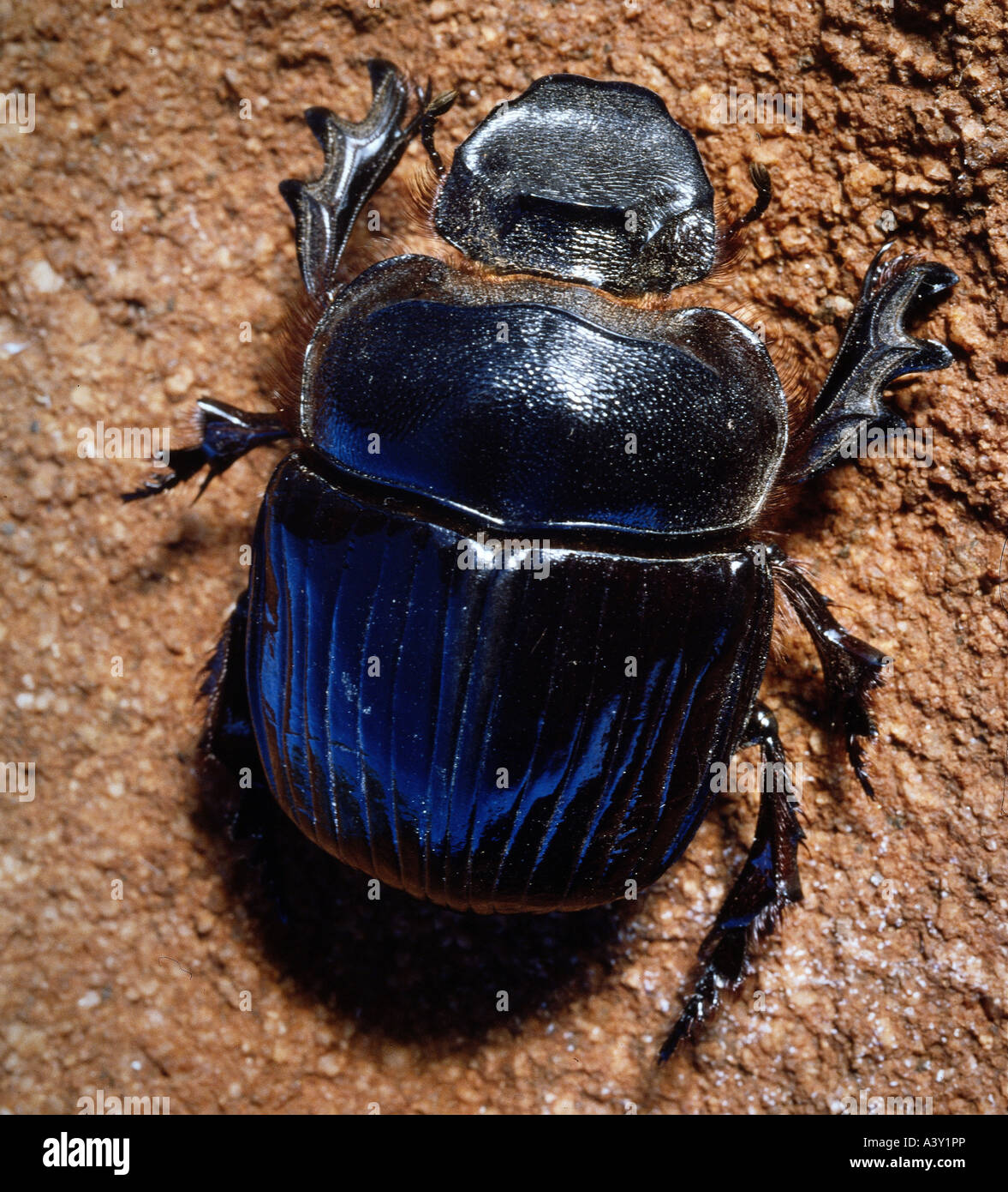 zoology / animals, insect, beetles, Dung Beetle, (Scarabaeus sacer), in sand, Kenya, distribution: Southern Europe, Stock Photo