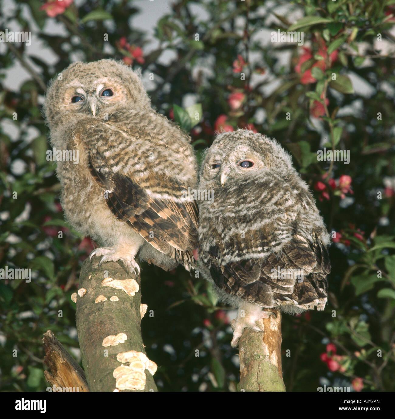 zoology / animals, avian / bird, Tawny Owl, (Strix aluco), two owls sitting on tree stumpf, frontal shot, distribution: Stock Photo