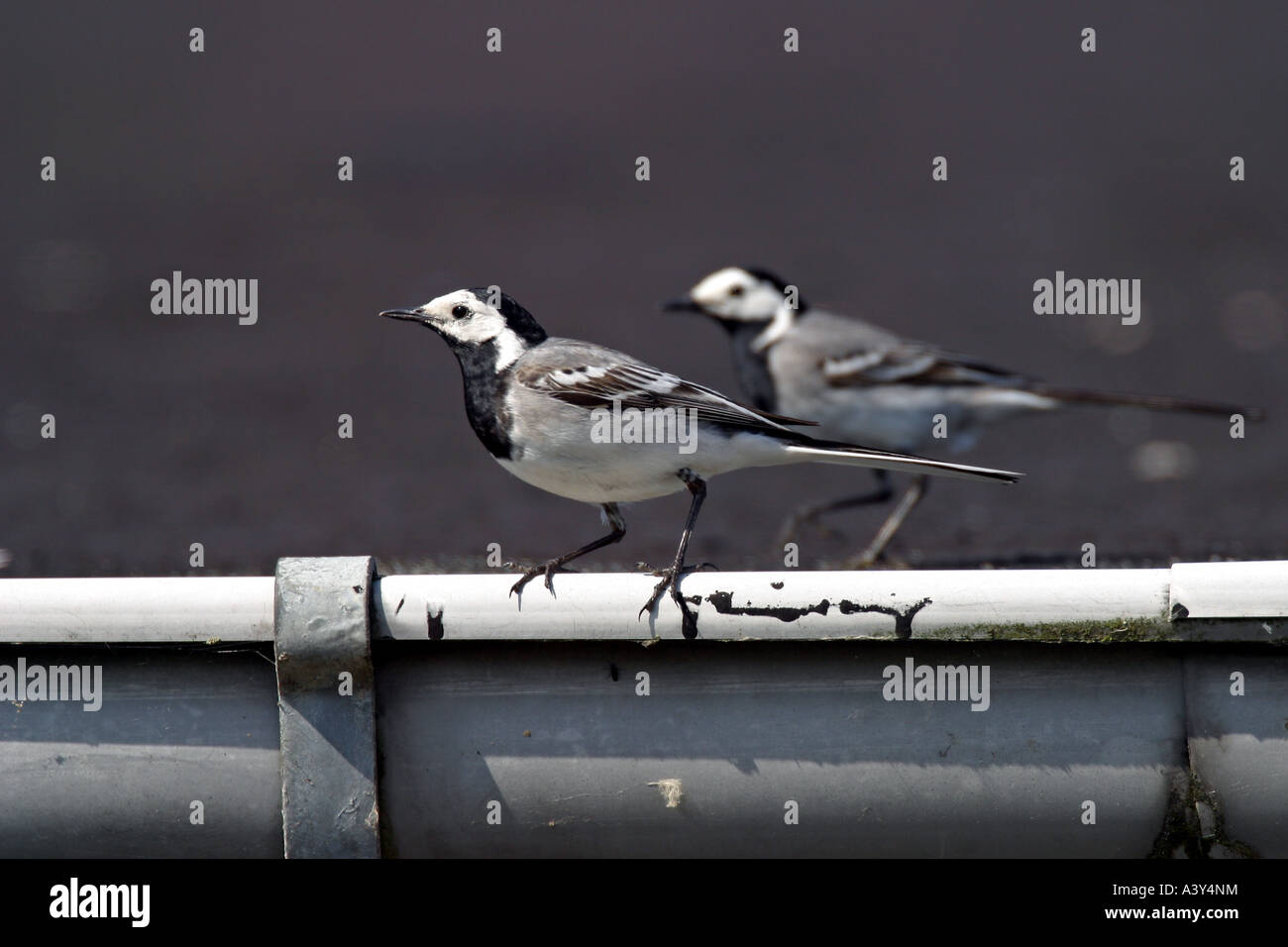 pied wagtail (Motacilla alba), two individuals on gutter - Stock Image