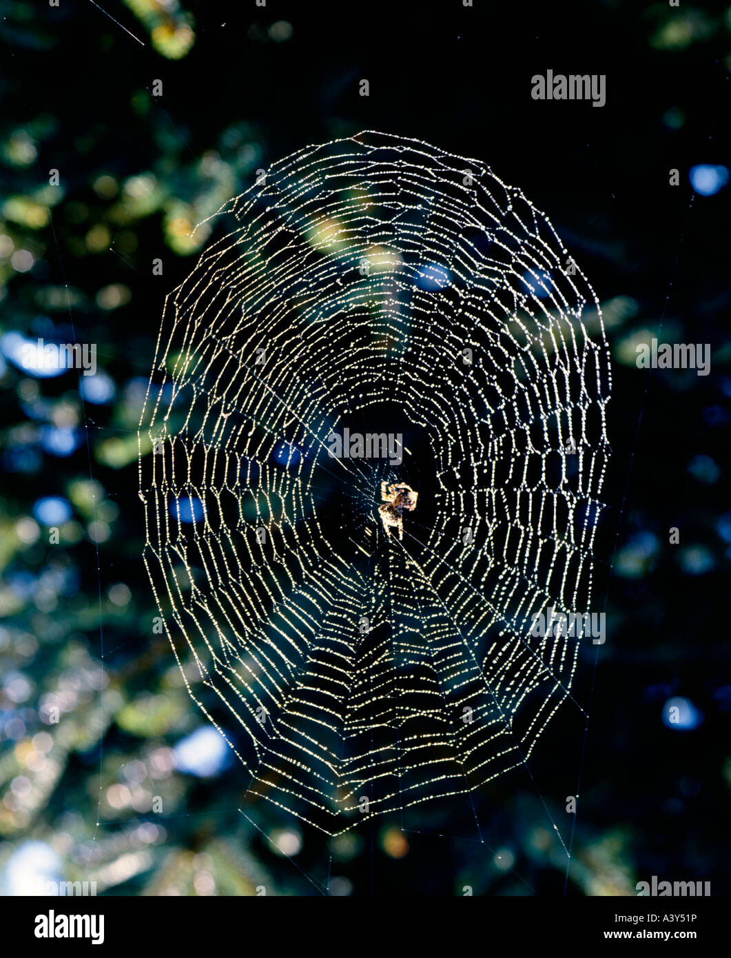 Morning dew clings to a spider web and is lighted by the low angle sun - Stock Image
