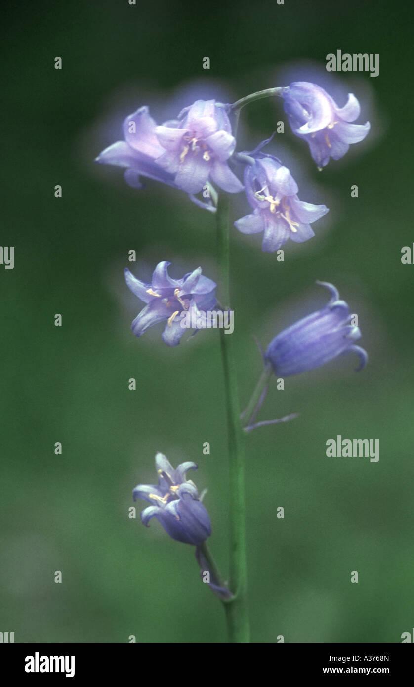bluebell (Hyacinthoides non-scripta), inflorescence, Germany, North Rhine-Westphalia Stock Photo