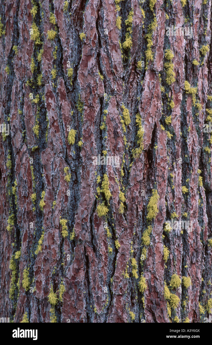 California red fir (Abies magnifica), detail of trunk coverd with yellow lichens, USA, California, Sequoia NP, Sierra - Stock Image