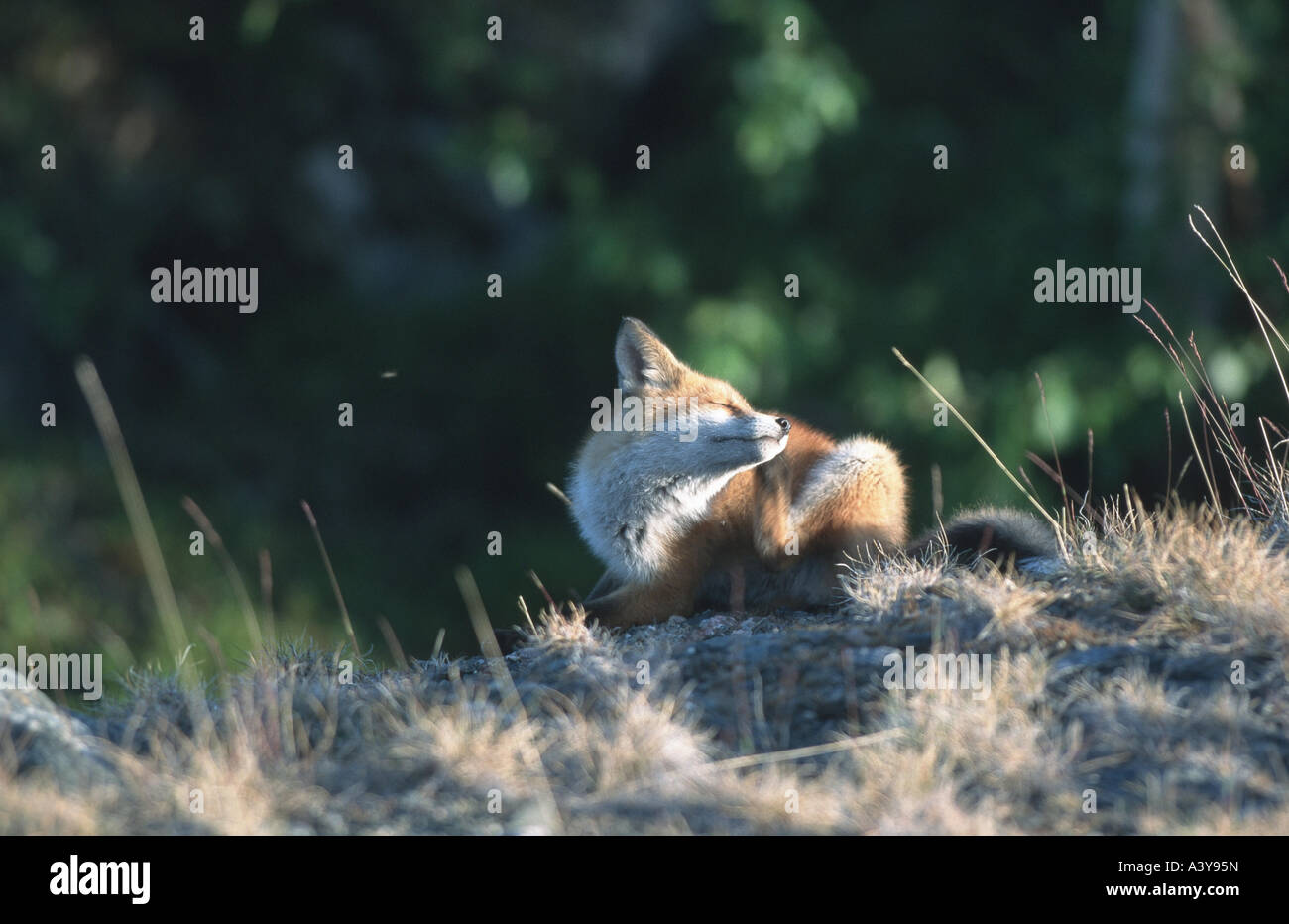 red fox (Vulpes vulpes), young scratching itself, Sweden, Abisko NP - Stock Image