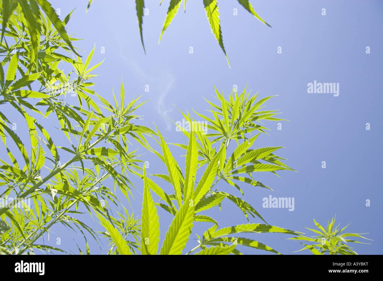Indian hemp, marijuana, mary jane (Cannabis sativa), in front of the blue sky - Stock Image