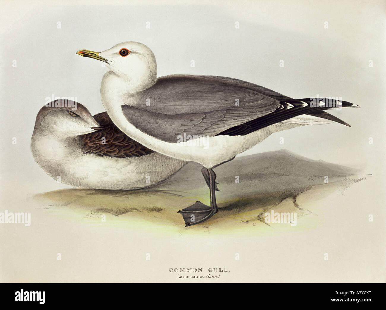 zoology / animal, avian / bird, laridae, common gull, (larus canus), young and old (front), colour lithograph, by - Stock Image
