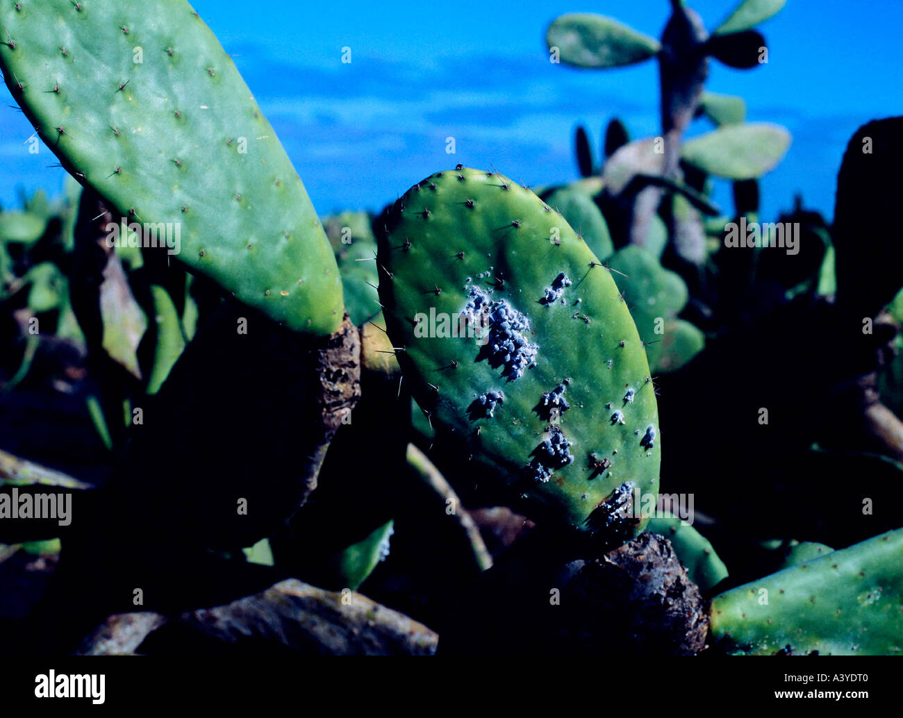 cochineal beetles on cactus leaves plantations for getting dye near village of guatiza lanzarote canary islands spain - Stock Image