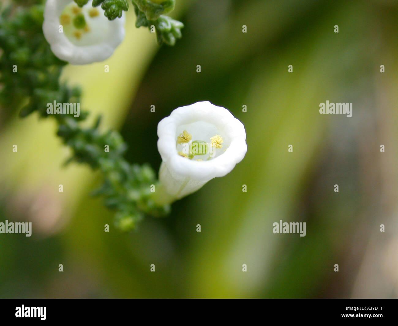 Pichi, Fabiana (Fabiana imbricata), flower Stock Photo