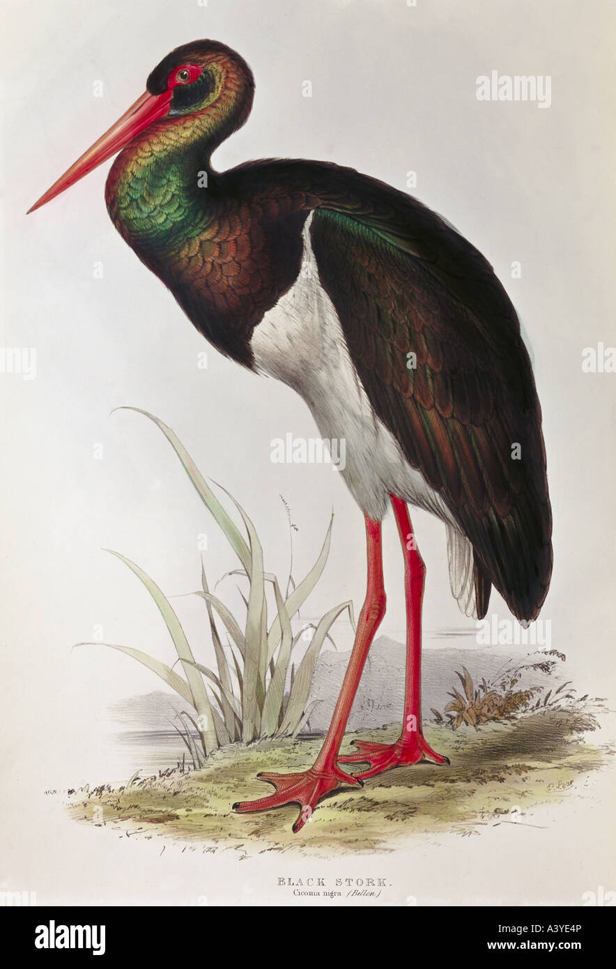 zoology / animal, avian / bird, ciconiidae, black stork, (ciconia nigra), colour lithograph, by Edward Lear, from Stock Photo