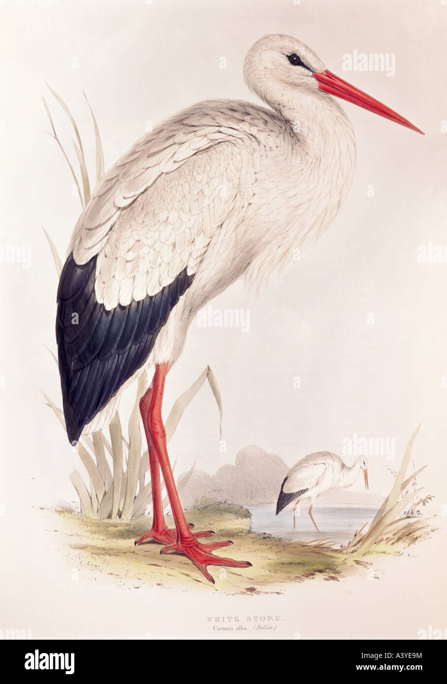 zoology / animal, avian / bird, ciconiidae, white stork, (ciconia ciconia), colour lithograph, by Edward Lear, from Stock Photo