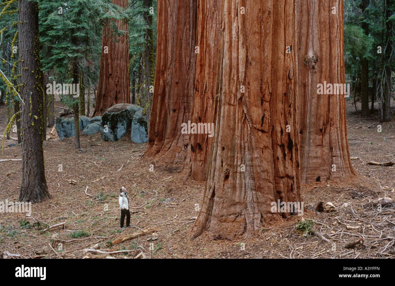 planting a sequoia by dana gioia essay But today we kneel in the cold planting you, our native giant, defying the practical custom of our fathers, wrapping in your roots a lock of hair, a piece of an infant's birth cord.