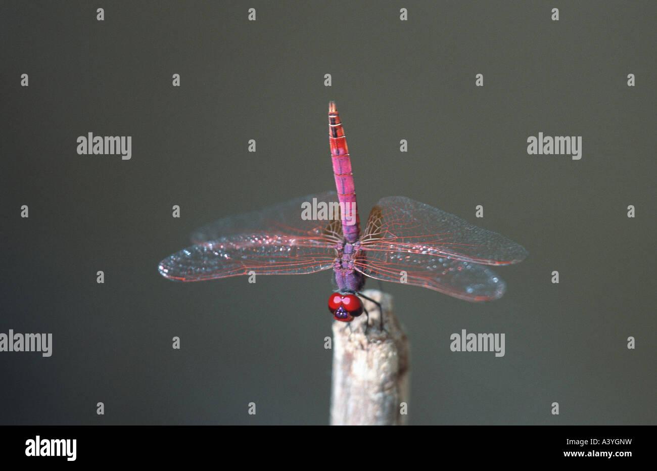 scarlet darter (Crocothemis erythraea), with upright abdomen against overheating, Senegal, Djoudj NP Stock Photo