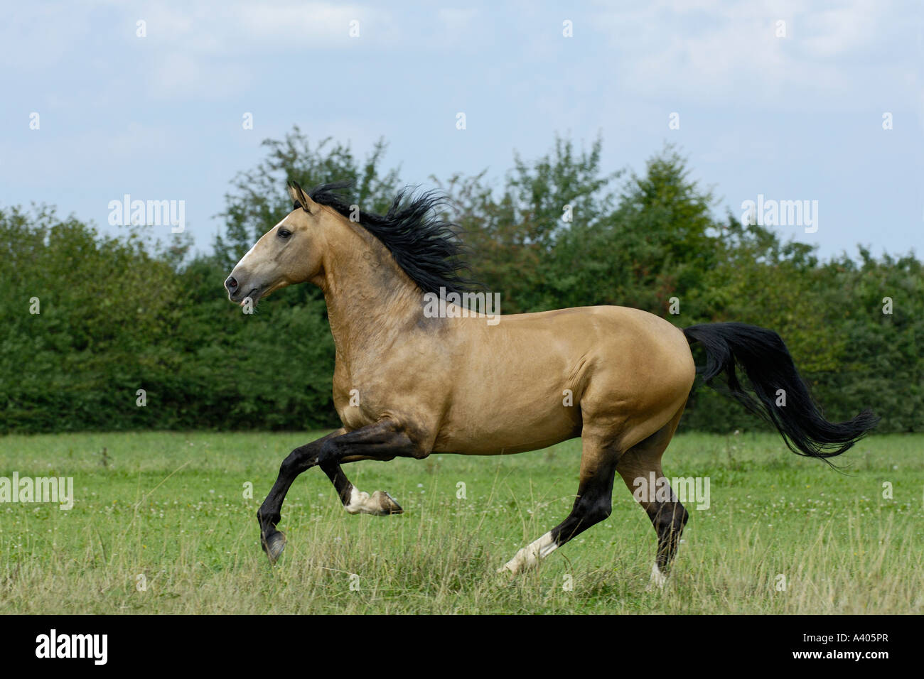 Lusitano horse stallion galloping in the paddock - Stock Image