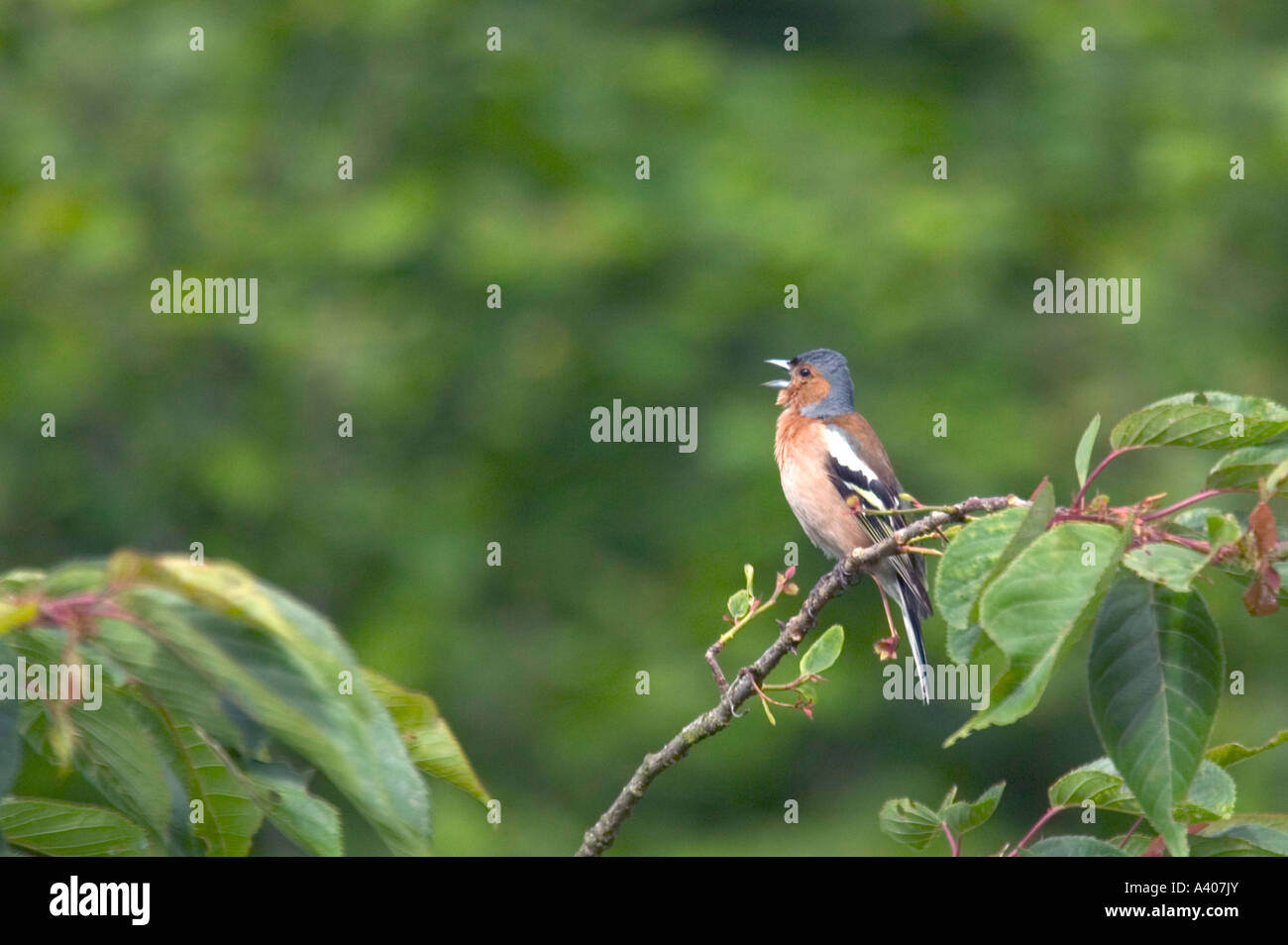 A Chaffinch singing in a cherry tree - Stock Image