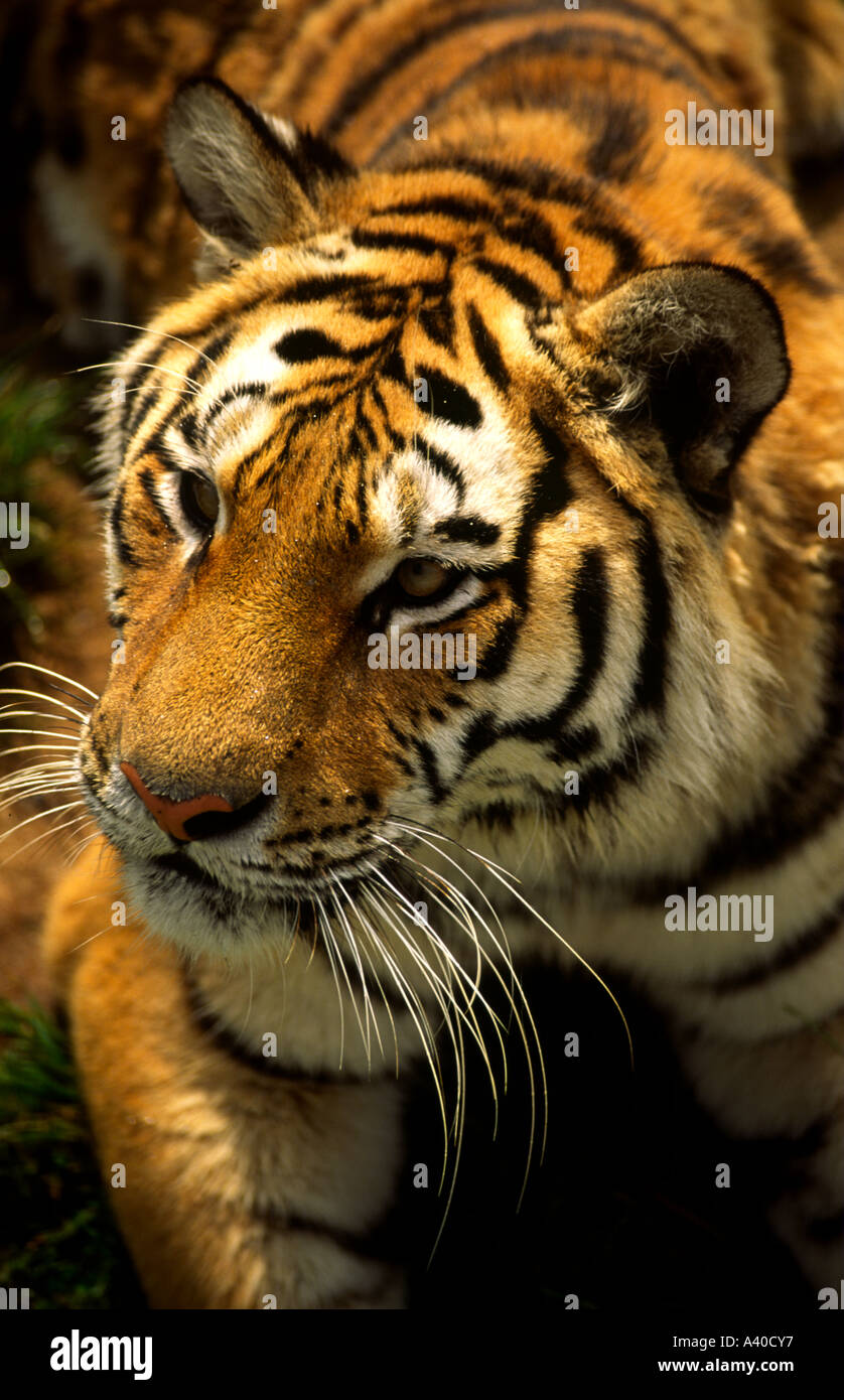 close up vertical portrait of tiger s face viewed from slightly