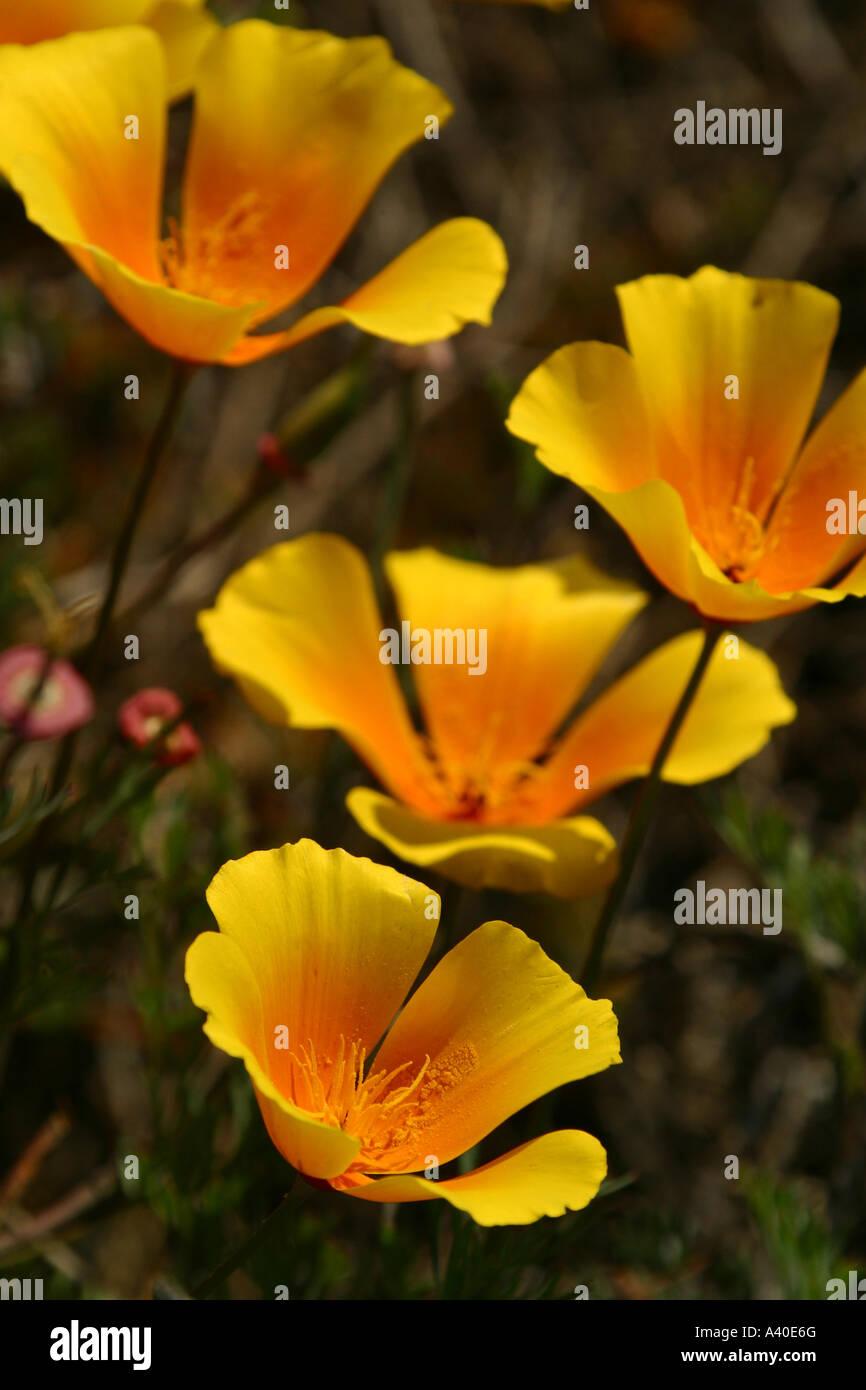 Californias state flower golden poppy eschscholtzia californica californias state flower golden poppy eschscholtzia californica mightylinksfo