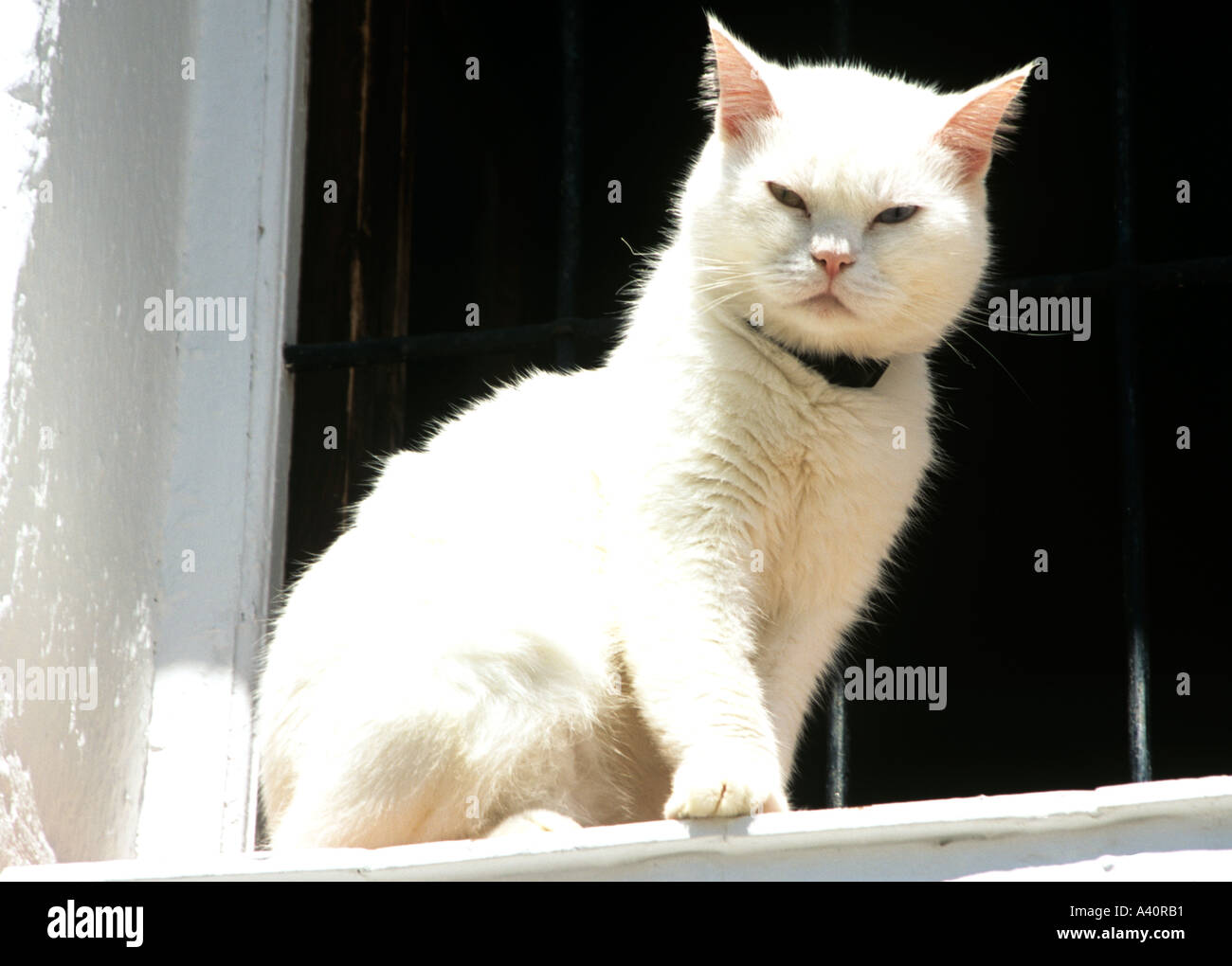 UK A white cat looking down on the world from his lofty position on a window ledge - Stock Image