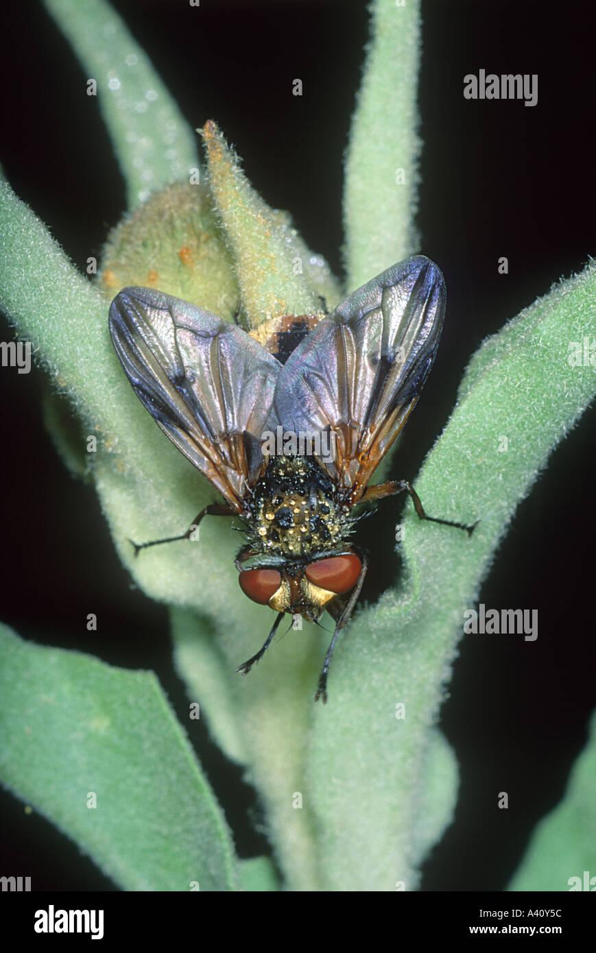 Fly Family Tachinidae Stock Photo