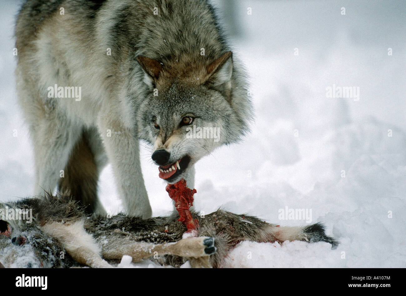 Wolf Canis lupus snarling to defend a road kill mule deer from another wolf USA - Stock Image