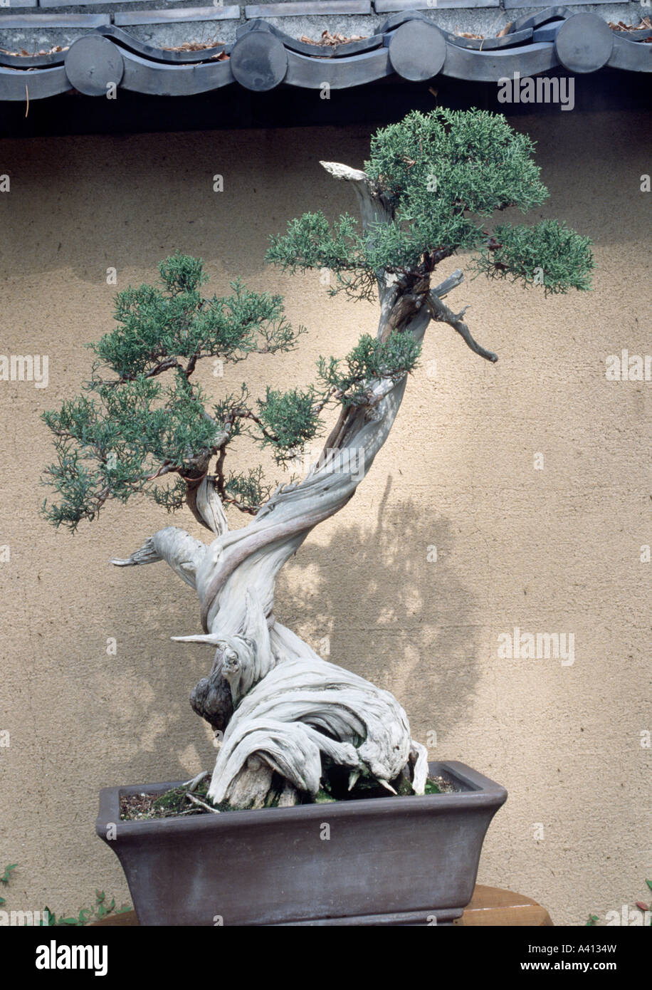Bonsai Californian juniper Huntington Botanic Garden - Stock Image
