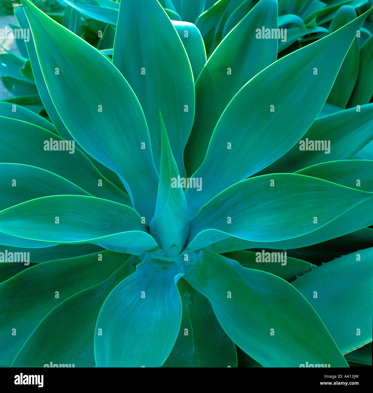 Agave attenuata, originates from Mexico - Stock Image