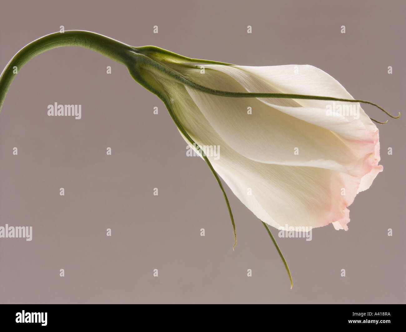 Close Up of Lisianthus Flower - White Petals Tipped Pale Pink - Stock Image