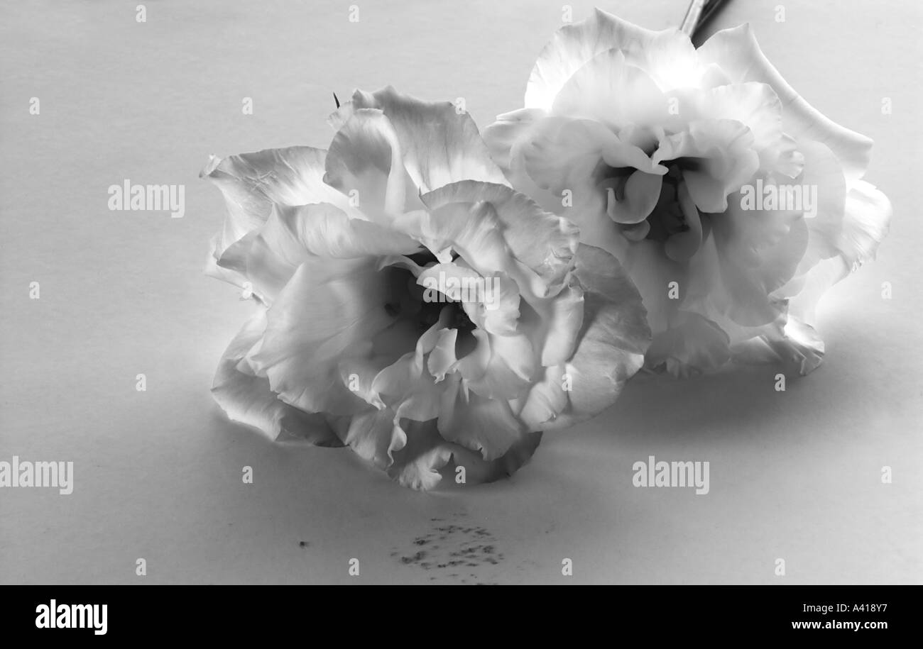 Monchrome Image of Two Lisianthus Flowers Lying On a Flat Surface With Spilt Pollen - Stock Image