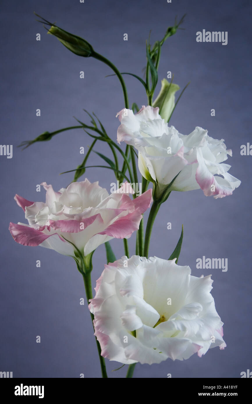 Formal Arrangement of Three Pink Edged White Lisianthus Flowers - Stock Image
