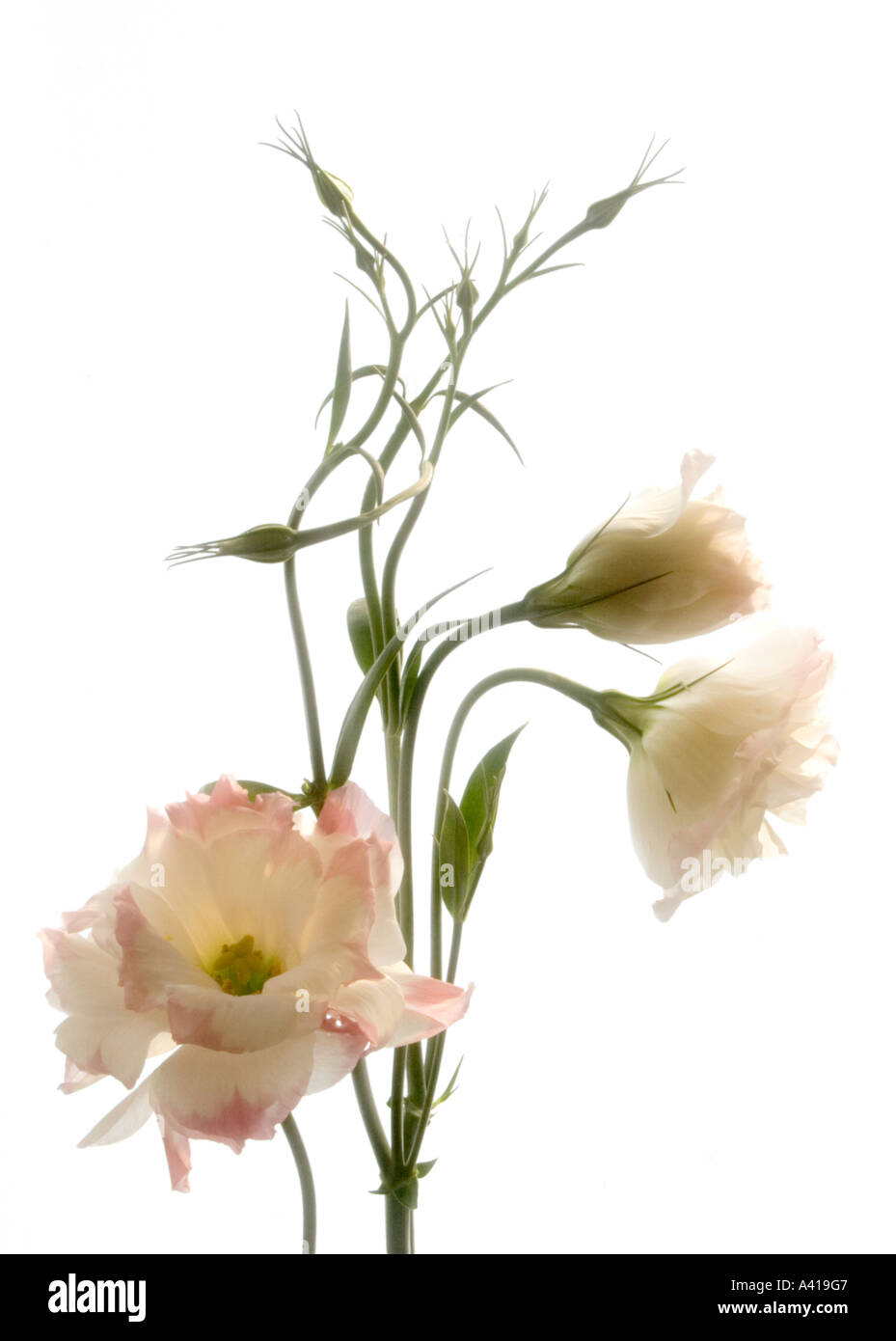Stem of a Lisianthus Flower; Pale Pink Edged White Petals - Formal Studio Shot - High Key Against White Background - Stock Image