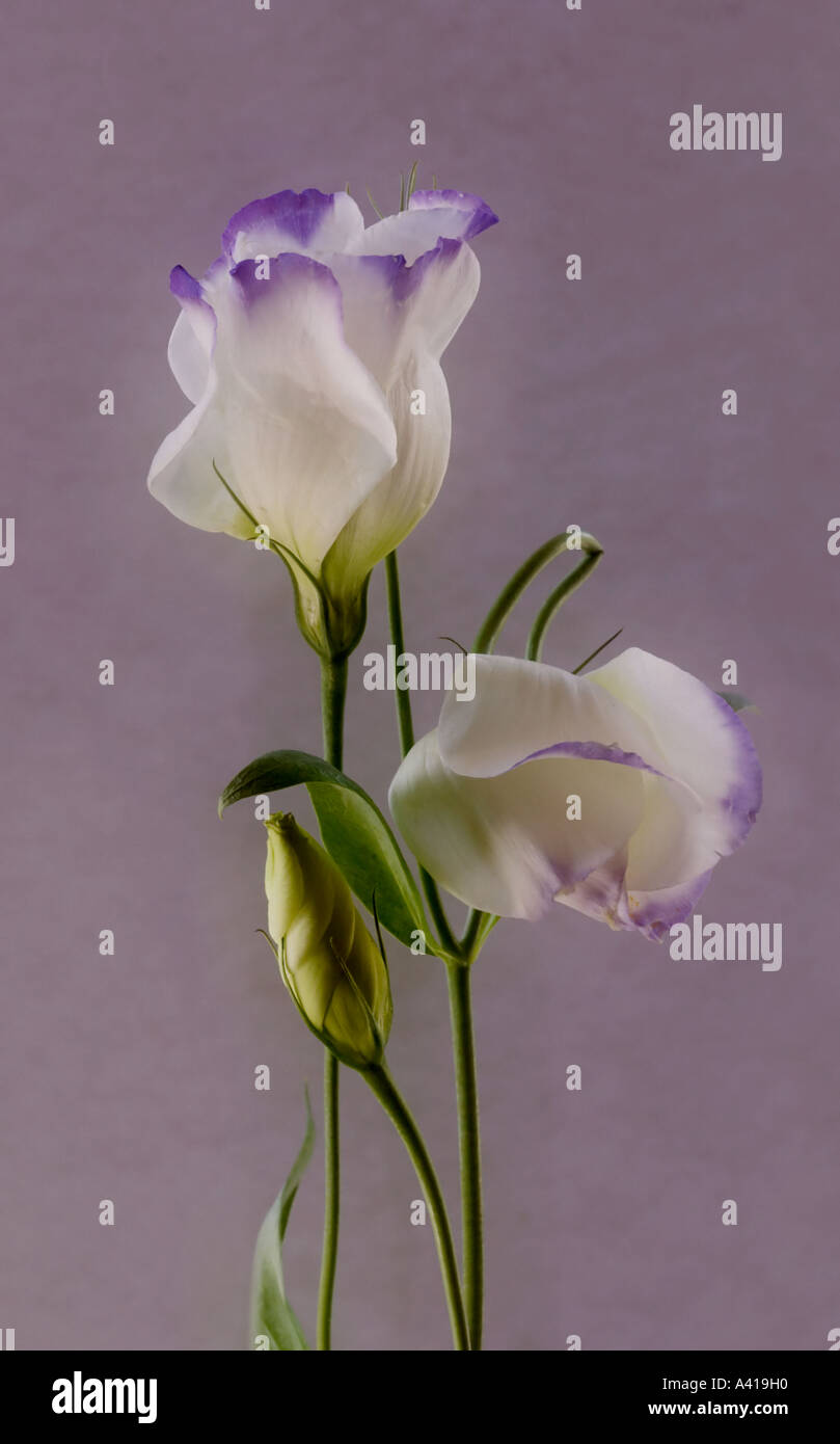 Lisianthus - White Petals With Purple Edges - Stock Image