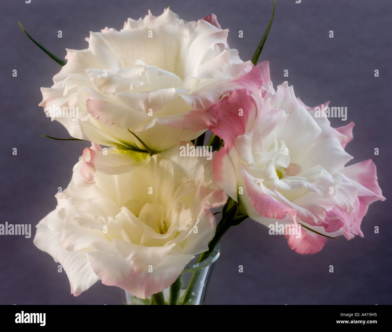 Three Lisianthus Flowers in a Glass Vase - Close-up - White Petals With Pink Edging - Stock Image