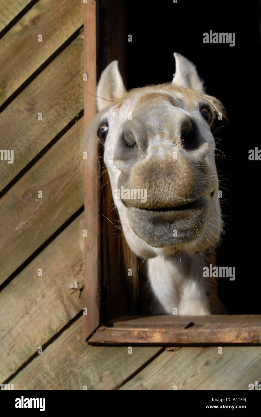 A Funny Looking White Horse Snout Close Up Stock Photo Alamy