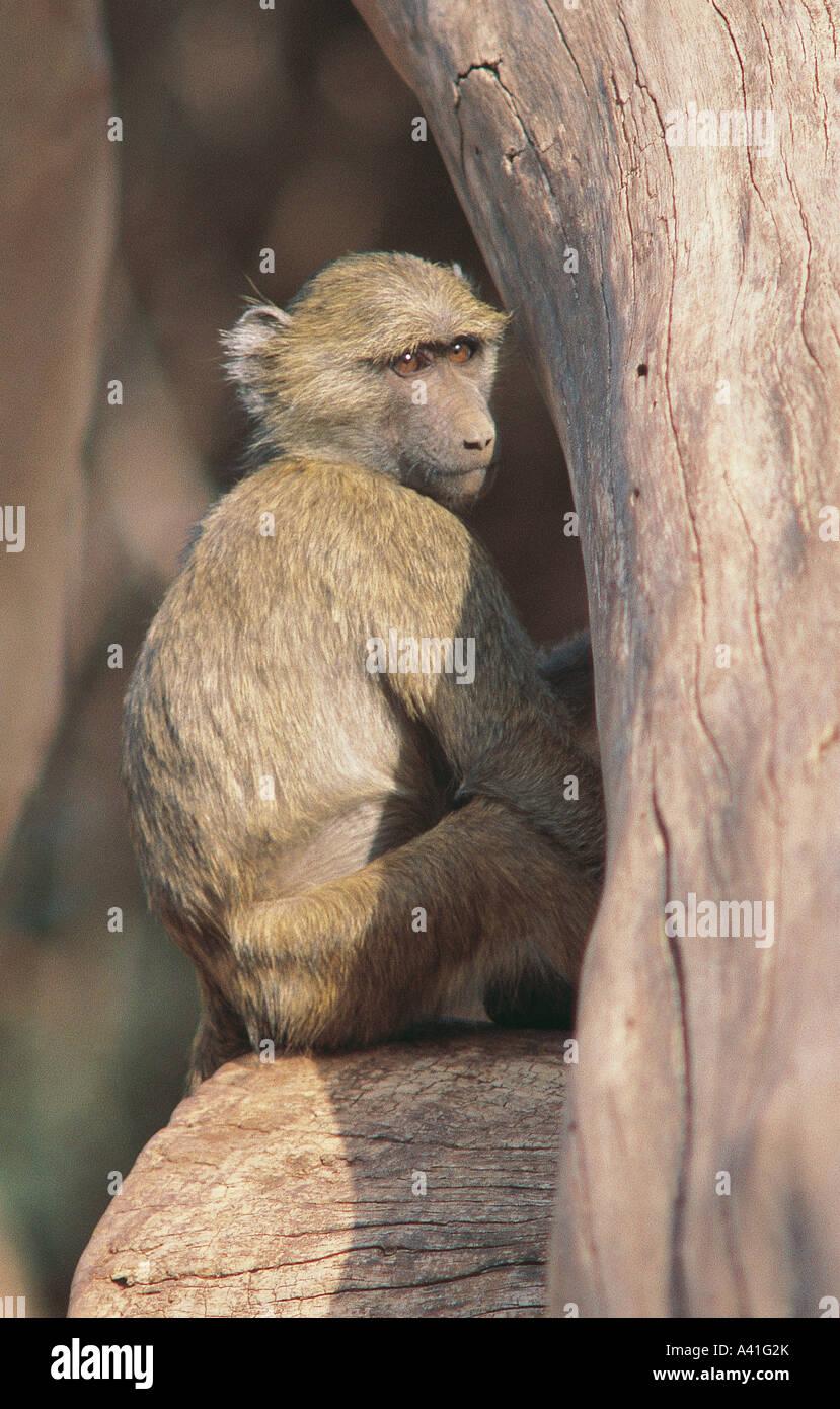 Young Olive Baboon sitting in Acacia tree at Samburu National Reserve Kenya Stock Photo