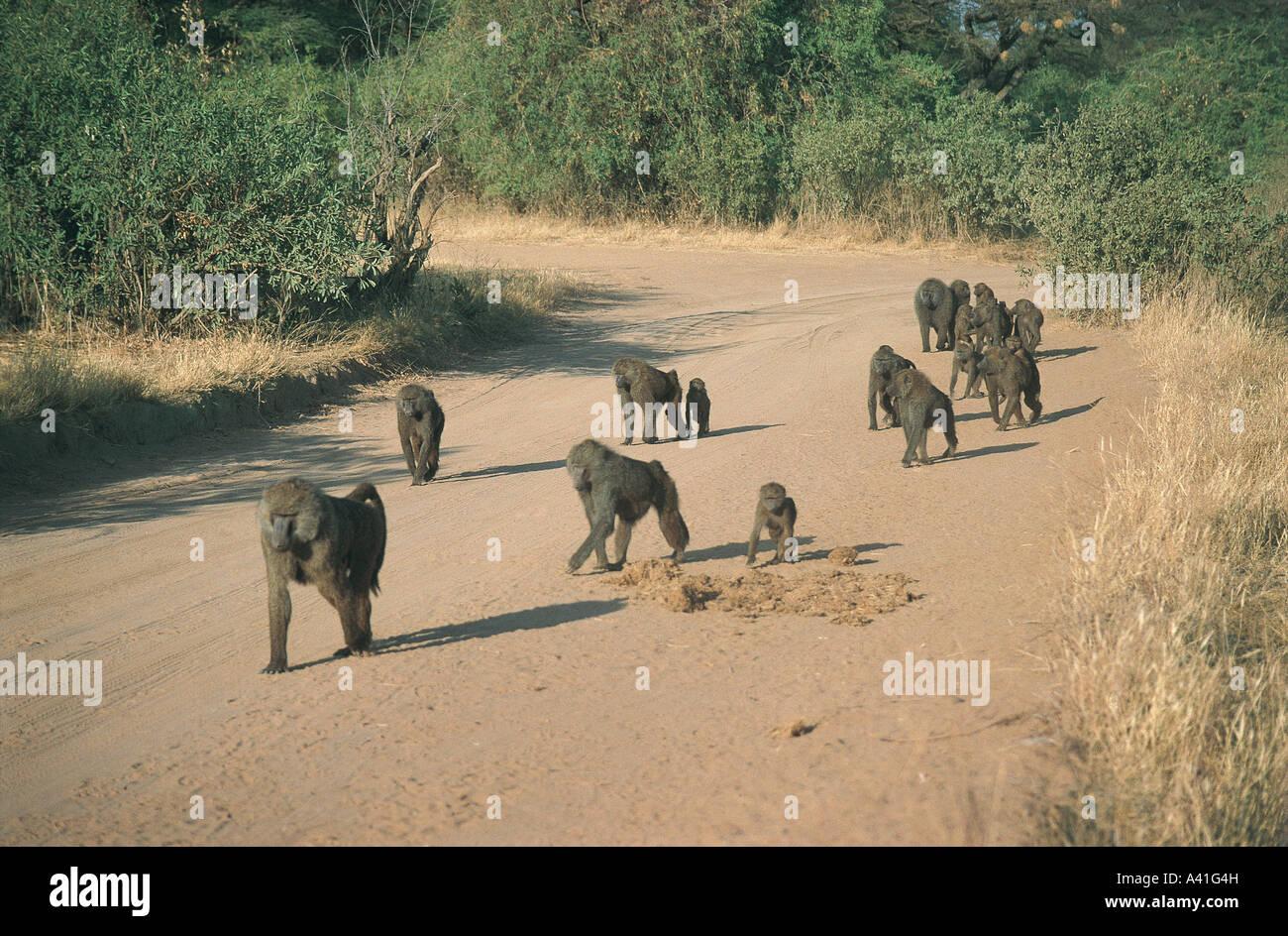 Troop of Olive Baboons walking on dirt track road in Samburu National Reserve Kenya East Africa - Stock Image